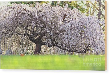 Wood Print featuring the photograph Weeping Japanese Cherry Tree by Charline Xia