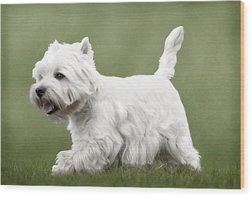 Wood Print featuring the photograph West Highland Terrier Trotting by Ethiriel  Photography