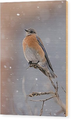 Western Bluebird In Winter Wood Print