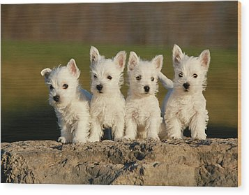 Westies On The Rock Wood Print by Celso Mollo Photography