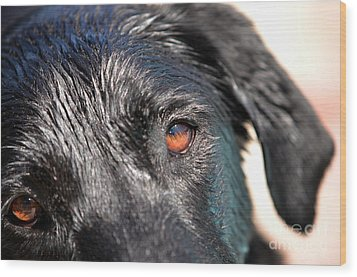 Wet Black Lab Wood Print