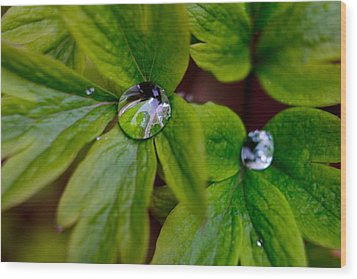 Wet Bleeding Heart Leaves Wood Print by Brent L Ander
