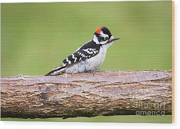 Wood Print featuring the photograph Wet Downy Woodpecker  by Ricky L Jones