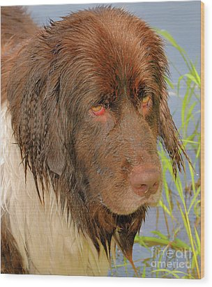 Wood Print featuring the photograph Wet Newfie by Debbie Stahre