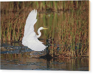 Wetland Landing Wood Print by Ray Congrove