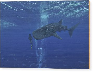 Whale Shark And Diver, Maldives Wood Print by Mathieu Meur