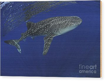 Whale Shark Near Surface With Sun Rays Wood Print by Mathieu Meur