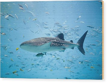 Whale Shark Swimming In Aquarium Wood Print by Stephen Marks