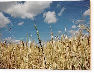 Wood Print featuring the photograph Wheat On The Rhine by KG Thienemann