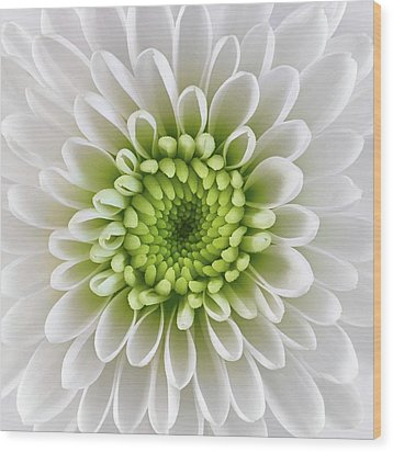 Wood Print featuring the photograph White And Green  Chrysanthemum by Jim Hughes