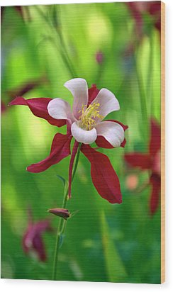 White And Red Columbine  Wood Print by James Steele