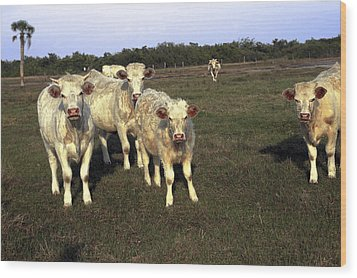 Wood Print featuring the photograph White Cows by Sally Weigand