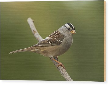 White-crowned Sparrow Wood Print by Doug Herr