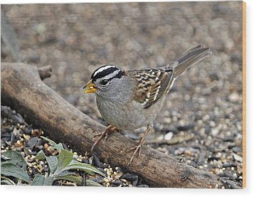 White Crowned Sparrow With Seeds Wood Print by Laura Mountainspring