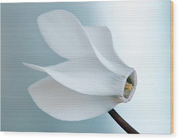 Wood Print featuring the photograph White Cyclamen. by Terence Davis