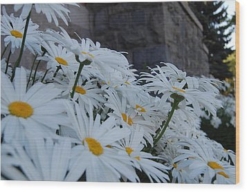 White Daisies Wood Print by Jean Booth