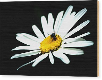Wood Print featuring the photograph White Daisy Flower And A Fly by Alexander Senin