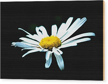 Wood Print featuring the photograph White Daisy Flower Black Background by Alexander Senin