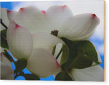 White Dogwood Flower Wood Print by David Patterson