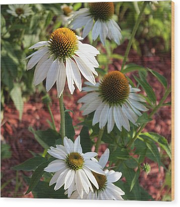 White Echinacea In Pastel Wood Print by Suzanne Gaff