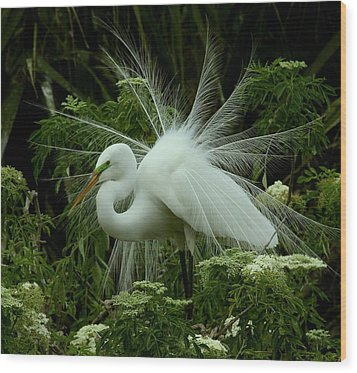 White Egret Displaying Wood Print