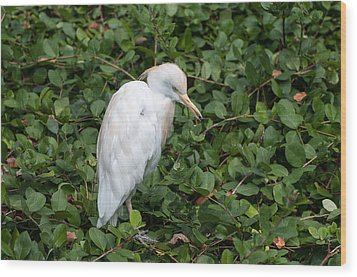 Wood Print featuring the photograph White Egret by Monte Stevens