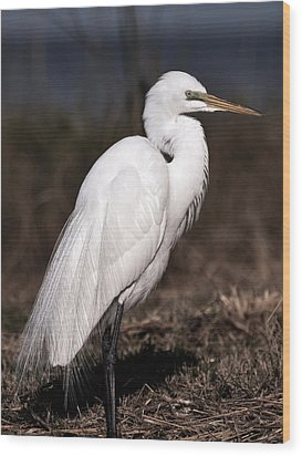 White Egret Portrait Wood Print by Rose  Hill