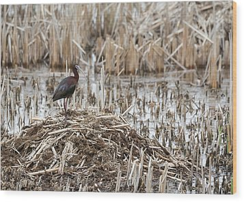 White-faced Ibis 2017-1 Wood Print by Thomas Young