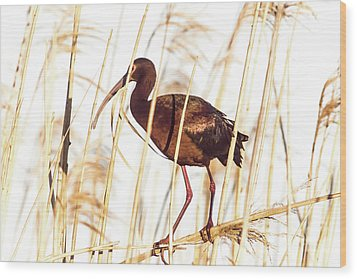 White Faced Ibis In Reeds Wood Print by Robert Frederick