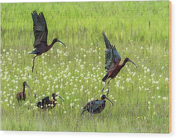 White-faced Ibis Rising, No. 1 Wood Print