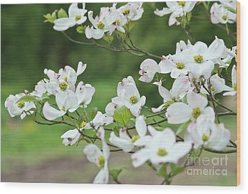 White Flowering Dogwood Wood Print