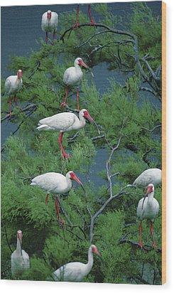White Ibis At Galveston Bay Near Smith Wood Print by Joel Sartore