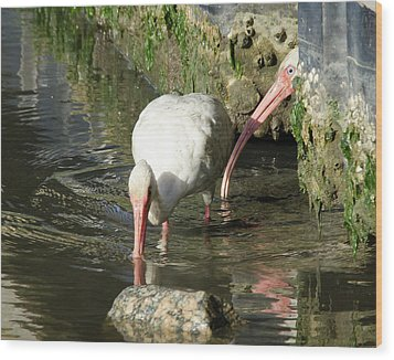 White Ibis Couple Wood Print by George Randy Bass