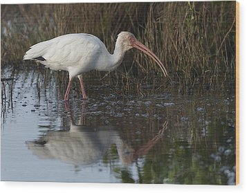 White Ibis Feeding Wood Print