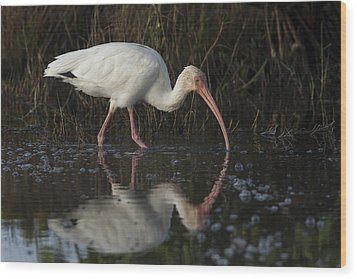 White Ibis Feeding In Morning Light Wood Print