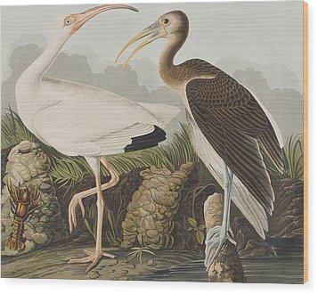 White Ibis Wood Print by John James Audubon