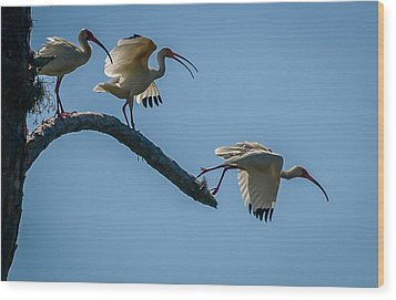 White Ibis Takeoff Wood Print by Tom Claud