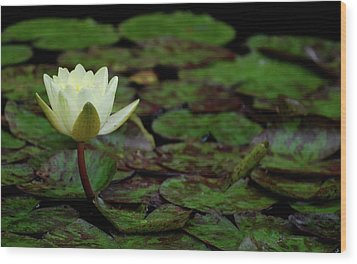 Wood Print featuring the photograph White Lily In The Pond by Amee Cave