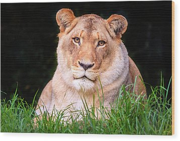 Wood Print featuring the photograph White Lion by Alexey Stiop