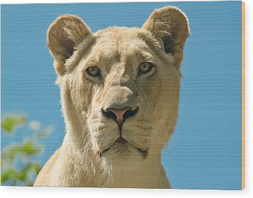 White Lion Wood Print
