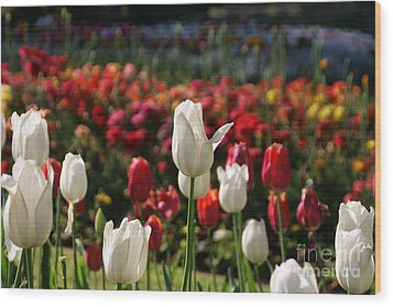 White Lit Tulips Wood Print by Andrea Jean