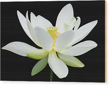 White Lotus On Black Wood Print