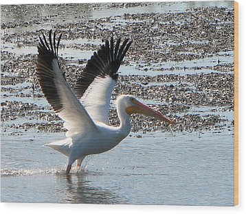 White Pelican Takes Wing Wood Print