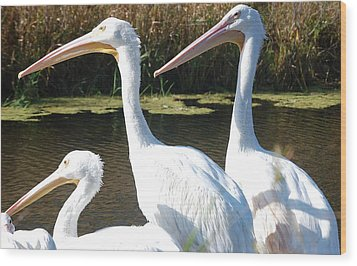 White Pelicans Wood Print by Heather Chaput