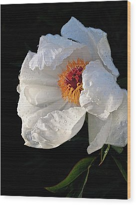 White Peony After The Rain Wood Print by Gill Billington