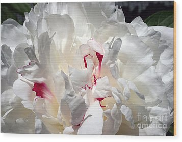 White Peony And Red Highlights Wood Print by Steve Augustin