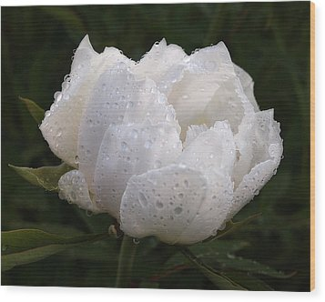 White Peony Covered In Raindrops Wood Print by Gill Billington