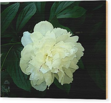 White Peony Rose Sumie Print Wood Print by Margie Avellino