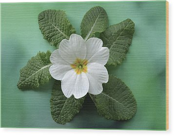 Wood Print featuring the photograph White Primrose by Terence Davis