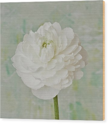 White Ranunculus Wood Print by Sandra Foster